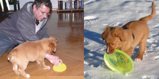 Toller Welpe spielt Frisbee