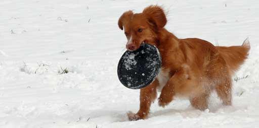 Hund spielt Frisbee im Schnee