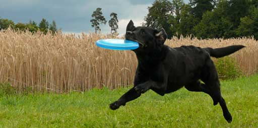 Labrador fängt Hundefrisbee