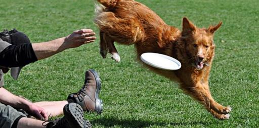 Hund springt über den Rücken und versucht eine Frisbee zu fangen