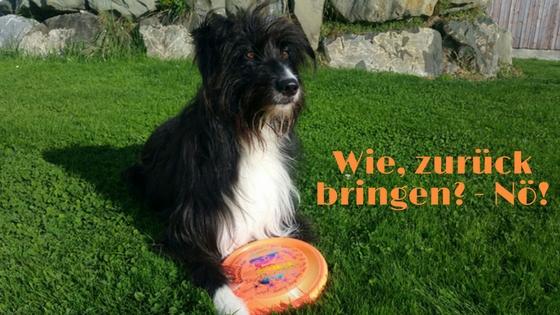 Hund liegt mit Frisbee auf der Wiese
