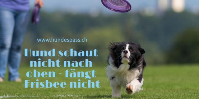 hund schaut nach oben - fängt Frisbee